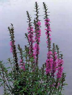 Lythrum Salicaria - Kattestaart