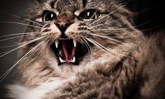 Managing Feline Aggression | Clinician's Brief