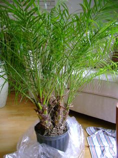 Tips on how to grow the pygmy date palm indoors, including advice on how to deal with yellowing fronds. Palm House Plants, All Plants, Indoor Plants, Porch Plants, Date Plant, Dates Tree, Meditation, Desert Plants, Desert Trees