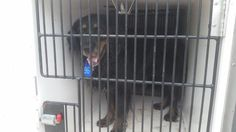 This DOG - ID#A466254 - URGENT - Harris County Animal Shelter in Houston, Texas…