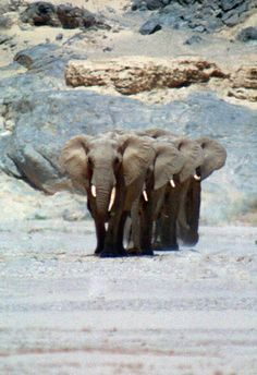 Desert Elephants, Skeleton Coast by Paul Brehem