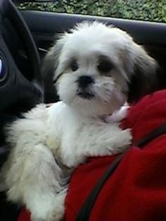 """Obtain terrific recommendations on """"shih tzu"""". They are actually readily available for you on our web site. Shih Tzu Puppy, Shih Tzus, Cute Puppies, Dogs And Puppies, Boxer Puppies, Boxer Mix, Pet Dogs, Dog Cat, Doggies"""