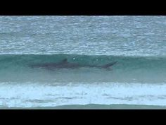 Great White Shark in my home town Cape Town, Fish Hoek. Great White Shark, Cape Town, Places To Travel, South Africa, Fish, Videos, Beautiful, Destinations, Pisces