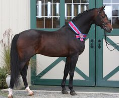 Coeur d'Amour - 2004 16'2 Mahogany Bay Hanoverian Stallion