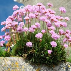 Armeria Pink has dainty pink cluster flower heads in spring and summer rise above a neat clump forming evergreen grass Ideal for edging beds, borders and rockeries. Prefers a full sun to part shade position.Very hardy and low maintenance. Pink Garden, Dream Garden, Lawn And Garden, Front Flower Beds, Garden Express, Light Pink Flowers, Low Maintenance Landscaping, Nature Plants, Shade Plants
