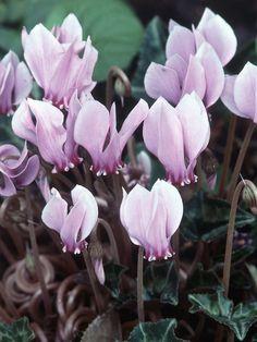 Cyclamen hederifolium;Under Tree Flowers