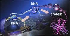 Understanding the central dogma of biology.