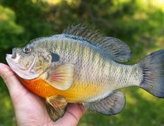 How To Catch Bluegill – Fishing Facts Tips I don't want to catch them, I just want to eat them!!