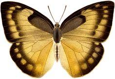 Vintage Gold Black Butterfly