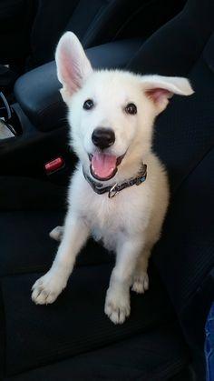 awwww! Cute! — Meet our 9 week old White German Shepherd (Source:...