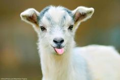 Baby animals are all adorable. If you think goats can't be cute, you better think again. Here's a list of the cutest mini goats you will ever see. Farm Animals, Animals And Pets, Funny Animals, Cute Animals, Crazy Animals, Animal Funnies, Animal Quotes, Wild Animals, Pillos