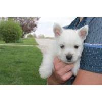 Attention Hyper Dog Breeds Hyper Dog West Highland White Terrier Dog Breeds