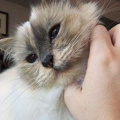 It's time for #wednesdaywhiskers and here is the bluetortie beauty Moo @stinkyandmoo  #birmans #birman #sacredbirman #heligbirma #birmania #birmanie #pyhäbirma #instabirmans #birmansofinstagram #blueeyes #whitecats #fluffycats #instacats #catsofinstagram #cats #kittens #instakittens #kittensofinstagram #lovecats #birmavanner #tabbycats #toocute #beautifulcats #excellentcats #tortiecats #cutepetclub #blåsköldpaddmaskad #bluetortie