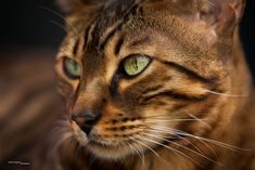 7 Things To Take Note Of Before Getting A Bengal Cat
