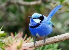 australian wildlife pics | Australia, Western Australia, Great Southern, Blue Wren, Australian ...