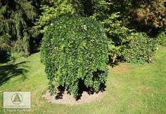 T- Sophora japonica 'Pendula' -