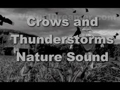 Crows in the Cornfield : Thunderstorm and Rain - 30 Minutes Halloween Photos, Halloween Art, Storm Sounds, Halloween Queen, Nature Sounds, Stuff And Thangs, Thunderstorms, Crows, Real Life