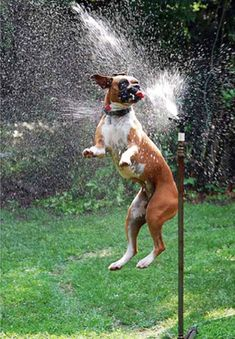 Dogs plus Sprinklers. A match made in comedy heaven
