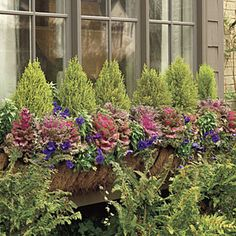 Ornamental Kale...perfect for cool seasons. Large plants serve as a colorful focal point in a window box.