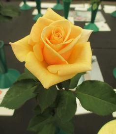 yellow - rose