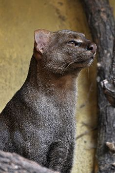 Jaguarundi ~ The jaguarundi, also called eyra cat, is a small-sized wild cat native to Central and South America. I Love Cats, Big Cats, Cats And Kittens, Beautiful Cats, Animals Beautiful, Black Footed Cat, Animals And Pets, Cute Animals, Wild Animals