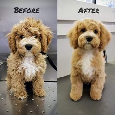 Dog Breeds Little .Dog Breeds Little Goldendoodle Grooming, Cockapoo Dog, Puppy Grooming, Cavapoo Puppies, Cavachon, Cockerpoo, Labradoodles, Goldendoodles, Puppy Haircut