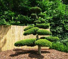Japanese Yew Tree - growing yew.