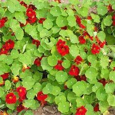 4 Servietten ~ Nasturtium Kapuzinerkresse Blütenranken Blumen