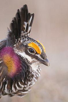 Prairie Chicken Portrait | Flickr - Photo Sharing!
