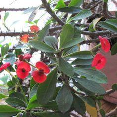 Crown of Thorns Blooms- Euphorbia milii