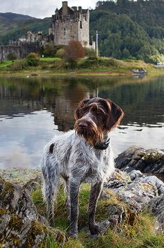 """Monarch Of the Glen by Ryan McGoverne. """"There's a new Monarch Of the Glen in town. Young pup Ci, the German Wirehaired Pointer lords it up in the Highlands, Scotland. Curly Coated Retriever, I Love Dogs, Cute Dogs, Braque Du Bourbonnais, Monarch Of The Glen, Mundo Animal, Hunting Dogs, Mans Best Friend, Doge"""