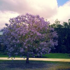 Beautiful Jacarandas are blooming all over O'Reilly's Canungra Valley Vineyards