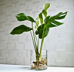 Live view of the monstera you know you want. - Mishka - Live view of the monstera you know you want. Live view of the monstera you know you want. Hydroponic Gardening, Hydroponics, Garden Plants, House Plants, Diy Plante, Water Plants Indoor, Garden Types, Plantation, Tropical Garden
