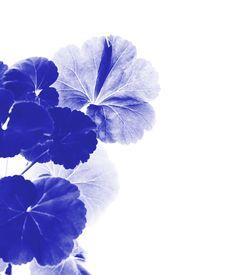 Image of BLUE PELARGOS 50X70