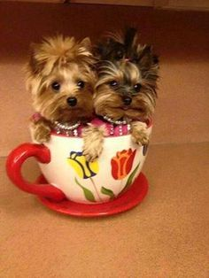 Yorkshire Terrier Puppies, or Yorkies as they are commonly called are excellent companion dogs that are well-known for their small size and perky personalities. Cute Teacup Puppies, Teacup Yorkie, Tiny Puppies, Cute Dogs And Puppies, Baby Dogs, Poodle Puppies, Teacup Dogs, Beautiful Dogs, Animals Beautiful