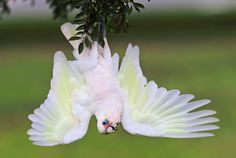 Pretending To Be A Bat - A Little Corella, also known as the bare-eyed cockatoo, blood-stained cockatoo, short-billed corella, little cockatoo and blue-eyed cockatoo, hanging up side down pretending to be a bat.