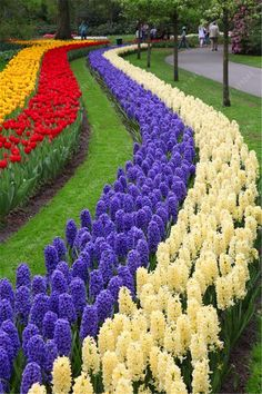 Row after row of tulips and hyacinths in bloom! Row after row of tulips and hyacinths in bloom! Parcs, Dream Garden, Hydroponics, Pretty Flowers, Flowers Pics, Bulb Flowers, Amazing Flowers, Spring Flowers, Beautiful Gardens