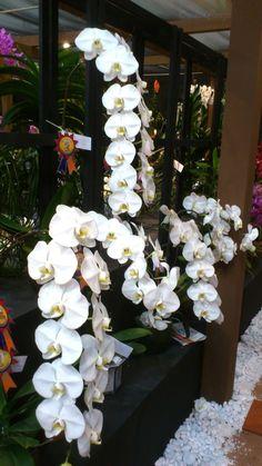 Beautiful Orchids! - OrchidCraze: MAHA Orchid Show 2012