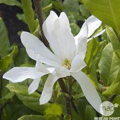 Magnolia stellata Waterlily : conteneur de 5 L