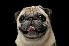 Mops Hund Rassebeschreibung, beliebte Hunderasse, Hunderassen für Familien, Hunderasse die sehr beliebt sind in Deutschland und Österreich Russell Terrier, Boston Terrier, Yorkshire Terrier, Shih Tzu, Rhodesian Ridgeback, Labradoodle, Australian Shepherd, Chihuahua, Animals