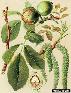 Botanical Flowers, Flowers Nature, Botanical Prints, Illustration Botanique, Plant Illustration, Technical Illustration, Fruit Painting, Botanical Drawings, Samhain
