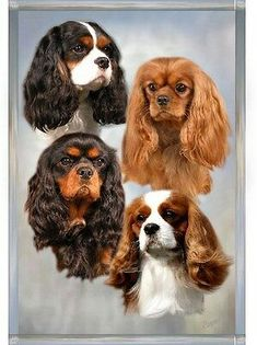 Cavalier King Charles Spaniel Dog Blank Card Design No 20 by Starprint King Charles Spaniel, Cavalier King Spaniel, Cavalier King Charles Dog, King Charles Puppy, Spaniel Breeds, Spaniel Puppies, Corgi Puppies, Miniature Dog Breeds, Animal Room