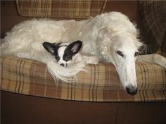 """Borzoi and its small """"friend"""" are having some rest. #borzoi #dogs #Russian"""