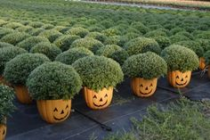 Pumpkins pails/pots filled with mums.