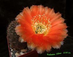 Lobivia sublimiflora
