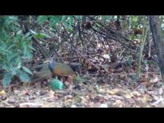 Saracura-três-potes desconfiada no mato
