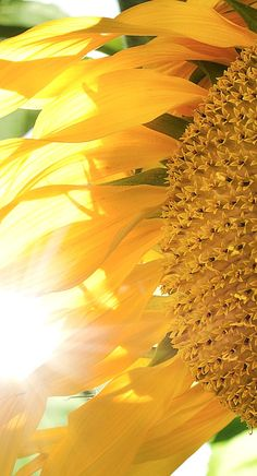 Sun Flare Sunflower by JTSiemer