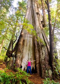 It's also the second largest red cedar in the world. The Cheewhat is located in Pacific Rim National Park, Vancouver Island, British Columbia. Vancouver Island, Canada Vancouver, British Columbia, Rocky Mountains, Places To Travel, Places To See, Alaska, Western Canada, Old Trees