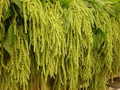 This hanging amaranthus also comes in red.  Might be nice for the ceremony.
