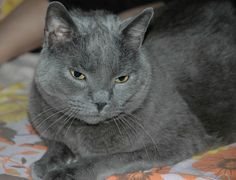 american blue cat breeds size